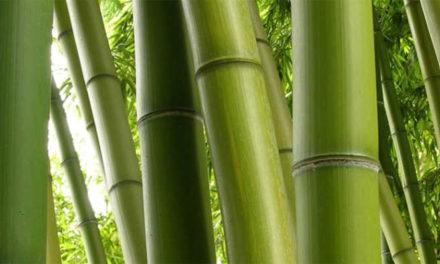 Il bambù cavo