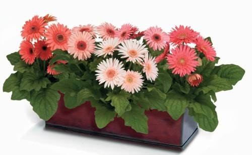 Gerbera jamesonii.