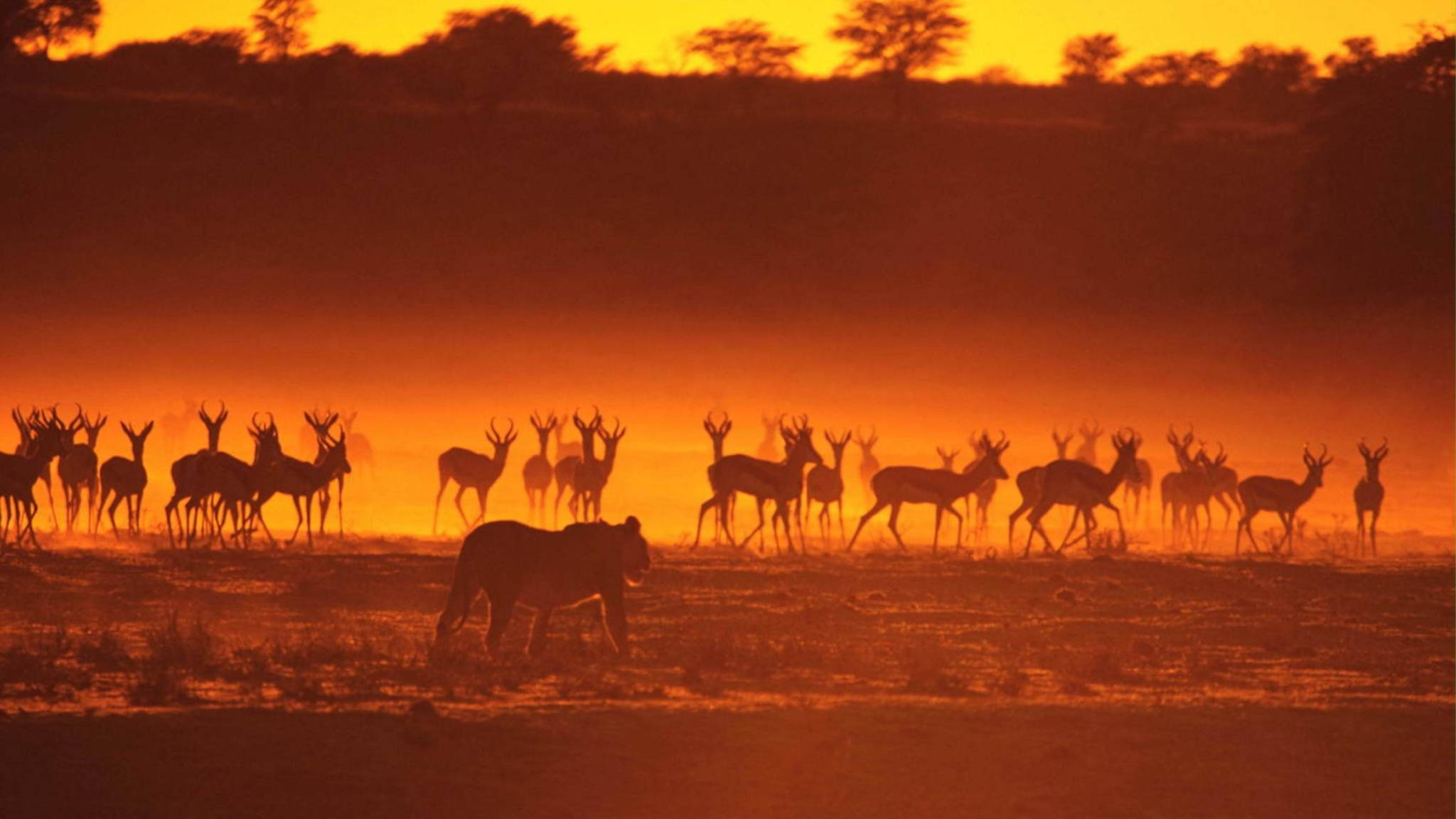 antelope_lion_hunting_animals_walk_sunset_silhouette_53022_3840x2160