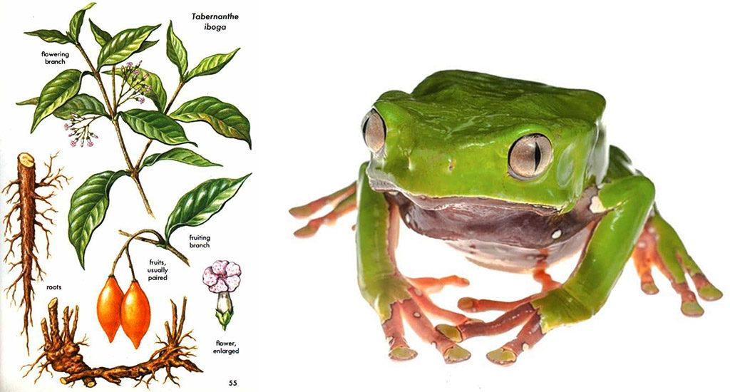 iboga-corteccia-kambo-phyllomedusa-bicolor