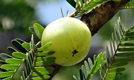 I benefici dell'olio di Amla
